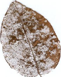 La feuille du poirier et sa bio dgradation www for Amaryllis ne fait que des feuilles